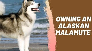 Owning an Alaskan Malamute : Breeder Recommendations