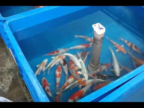 Carpas koi em estoque 17 08 2011 youtube for Carpa koi costo