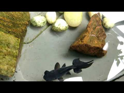 Unboxing Black Moor Goldfish & Angelfish | Fish Videos