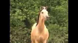 Carmelette, Half Arabian Buckskin Filly