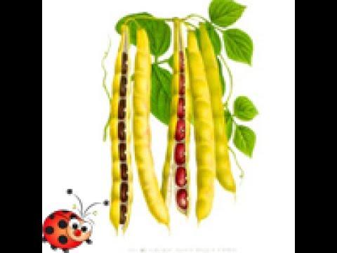 Картинка фасоль для детей в детском саду