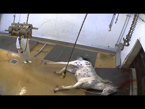 Abattoir made in France - les chevaux (Alès)