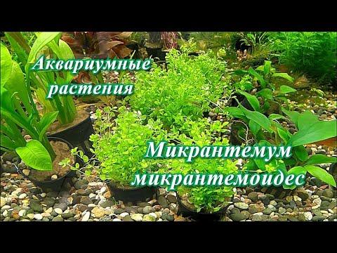 #Аквариумные_растения Микрантемум микрантемоидес
