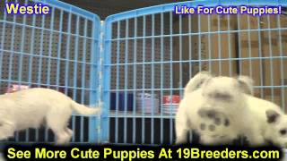 West Highland Terrier, Puppies, For, Sale, In, Oklahoma City, Oklahoma, Ok, Warr Acres, Guthrie, Wea