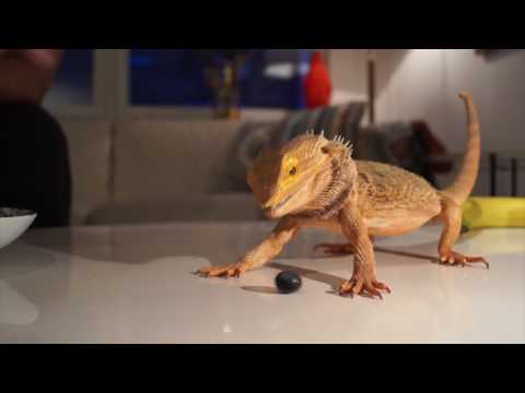 Bearded dragon eating fish | Doovi