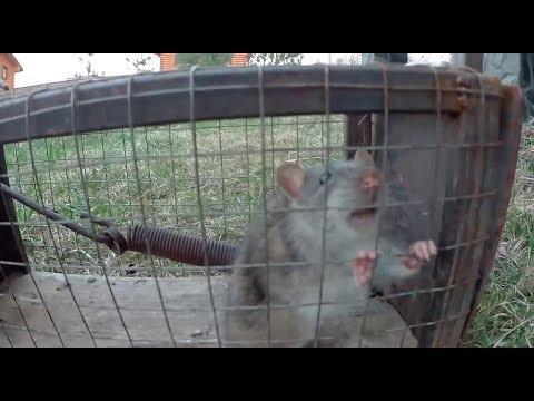Как сделать крысоловку своими руками в домашних условиях видео