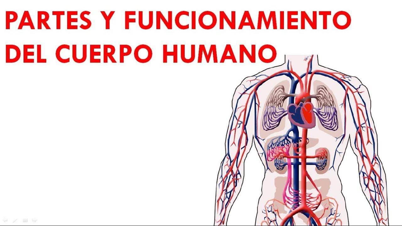 PARTES Y FUNCIONAMIENTO DEL CUERPO HUMANO 2-2 - YouTube