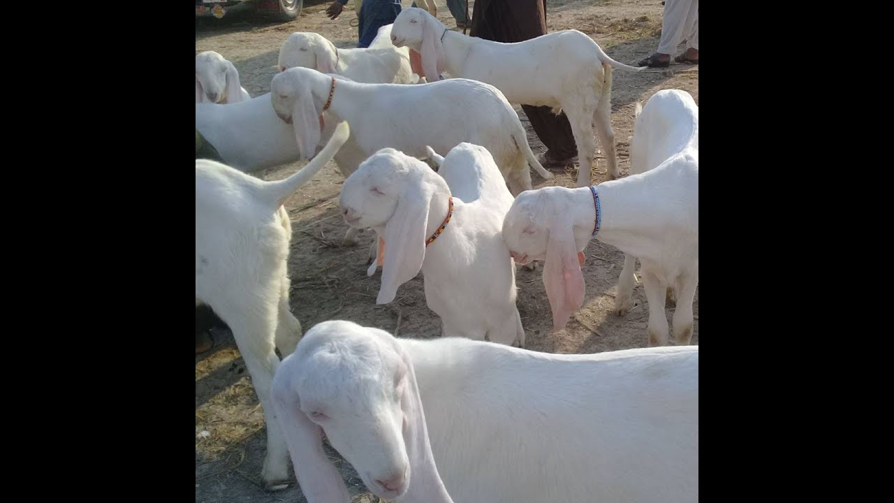 Pure White RajanPuri Bakre for SALE | Rate: 20K - 35K | Muhammadpur Bakra  Mandi in Punjab Pakistan