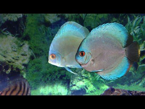 Got Blue Diamond Discus Fish Pair In Exchange