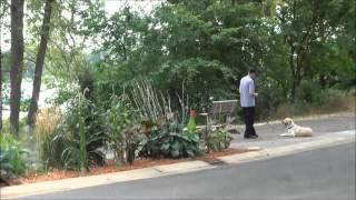 Luke (labrador Retriever) Boot Camp Dog Training Video