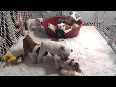 Bulldog Puppy Watch - Live Stream - Day 77