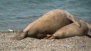 Repeat youtube video elefante marino triple x