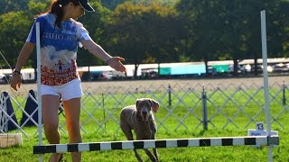 Weimaraner Dog At Obedience & Rally Competition
