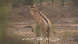 Repeat youtube video Indian wild Asses mating!
