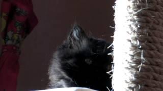 Продажа британских котят в Наб. Челнах