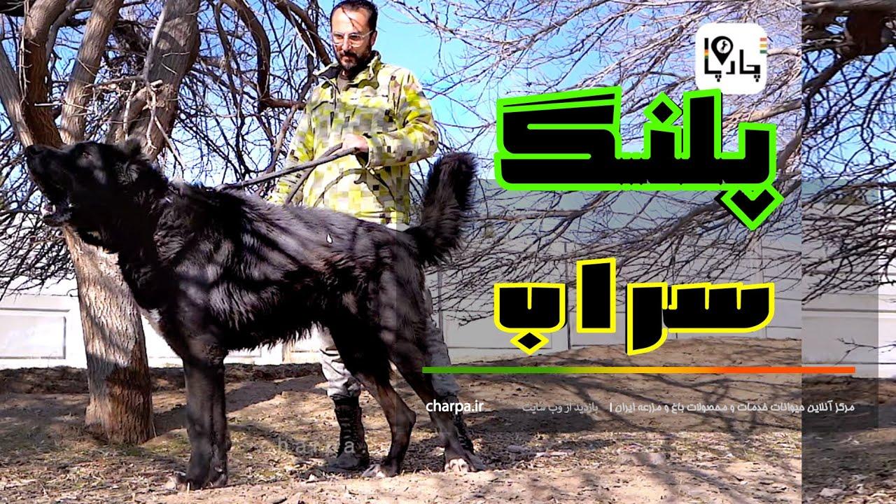 Download Biggest mastiff of the world, ancient Sarabi Dog