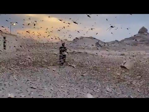 Crazy video ! Billions of locusts cover the sky in Saudi Arabia, Dukhna