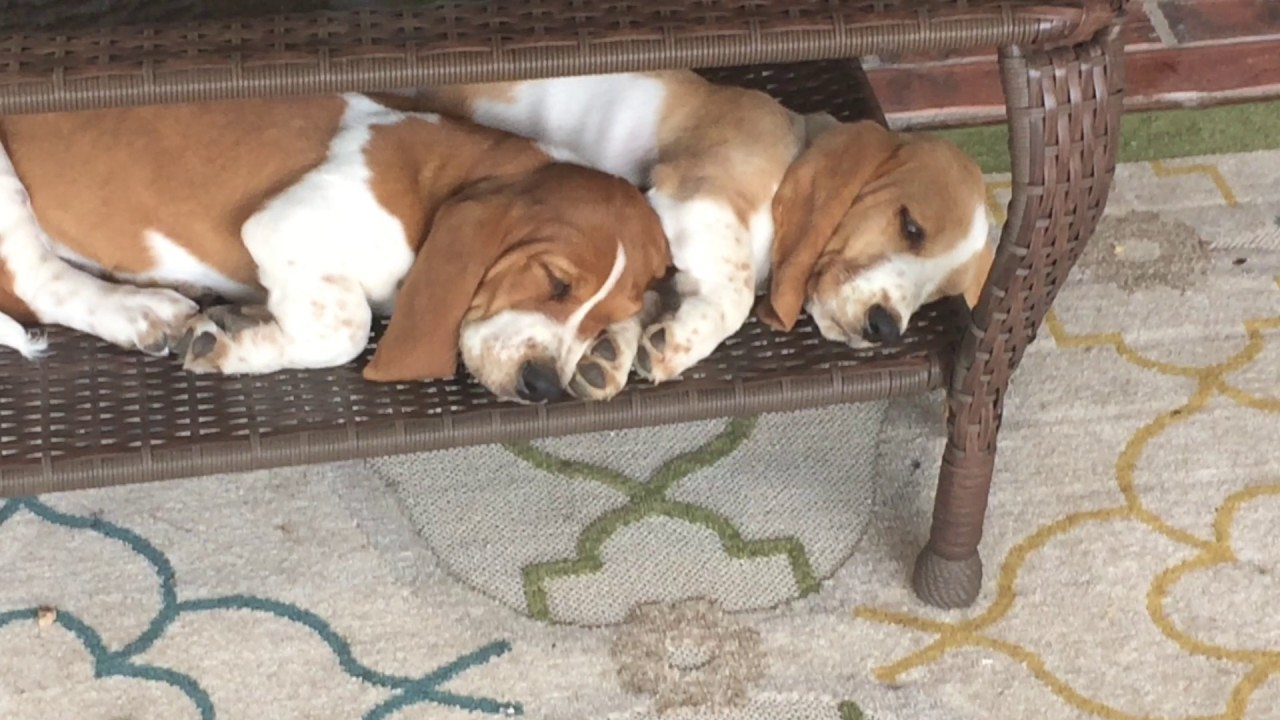 Basset Hounds Sleeping Under Table