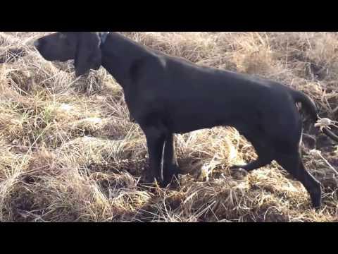 German Shorthaired Pointer - Working Dog
