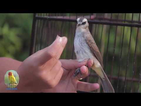 CARA JITU AJARI TRUCUKAN..!Kicau Burung Trucukan Gacor Suara Isian Untuk Masteran