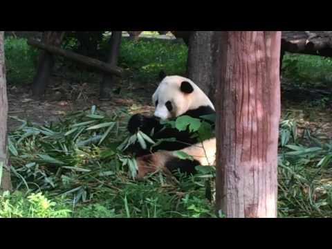 Panda Research Centre Chengdu China