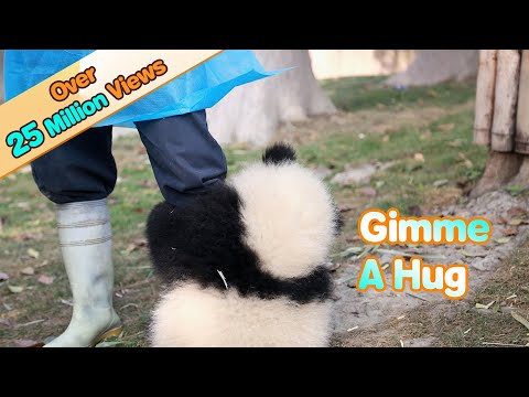 Un ós panda que estima el seu cuidador ...