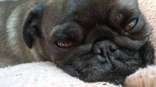 Ronja the pug is dreaming
