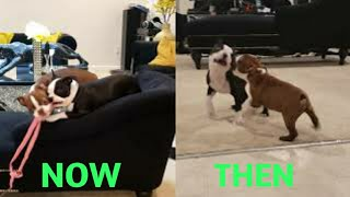 Boston Terrier Puppies Then And Now (3 Months Later)