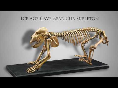 Rare Ice Age Cave Bear & Cub Skeletons from M.S. Rau ANtiques