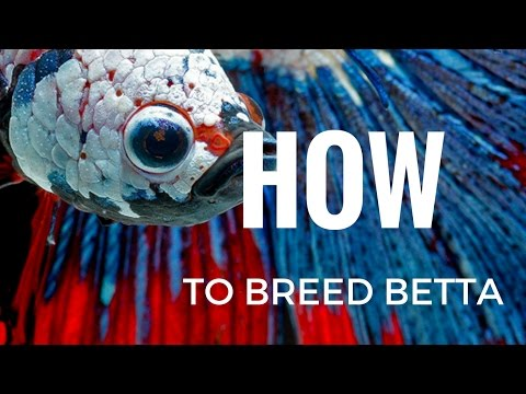 HOW to breed Betta fish COMPLETELY STEP BY STEP
