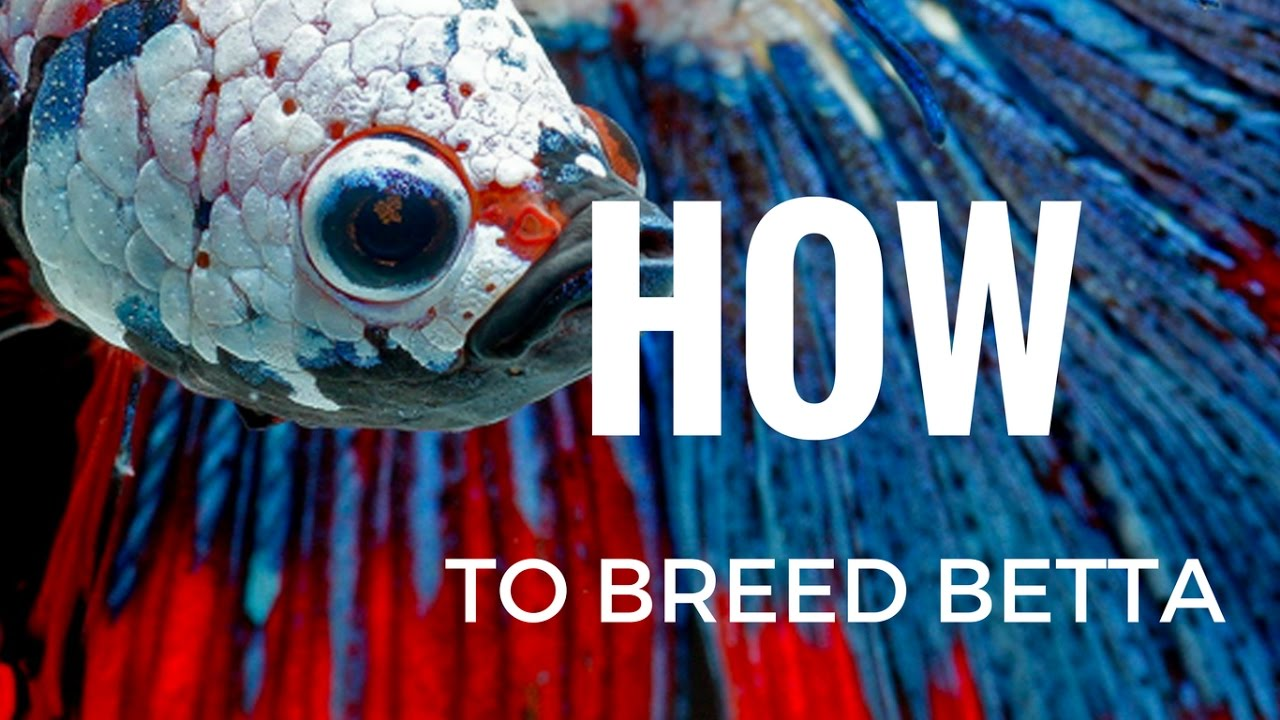 How to breed betta fish completely step by step youtube for How to breed betta fish