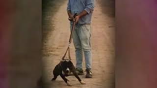 Patiala pitbulls ## sherry ##