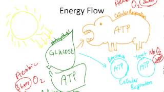How Cellular Respiration Fits into the Big Picture