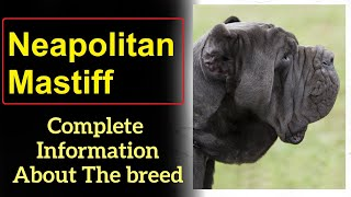 Neapolitan Mastiff or Mastino Napoletano  Pros and Cons, Price, How to choose, Facts, Care, History