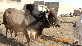 Big Bull for Sale | Ox sale | Bale for sale | wacha | Animals video