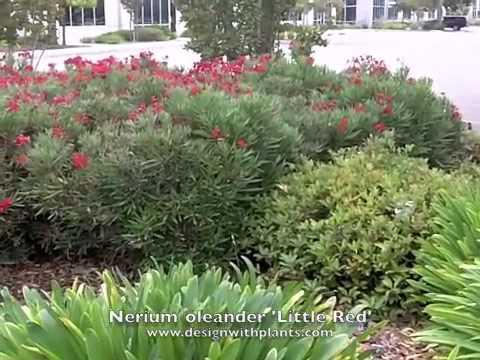 Nerium Oleander Little Red Oleander Youtube