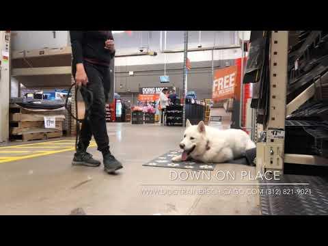 Best Dog Training in Chicago! 1 Year-Old Alaskan malamute, Nanook!