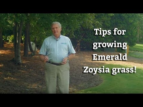 Growing Emerald Zoysia Grass Warm Season Turf Tips Youtube