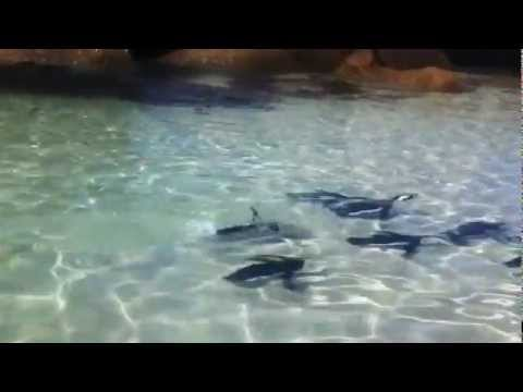 Penguins Synchronized Swimming, Boulders Beach, Cape Town, South Africa