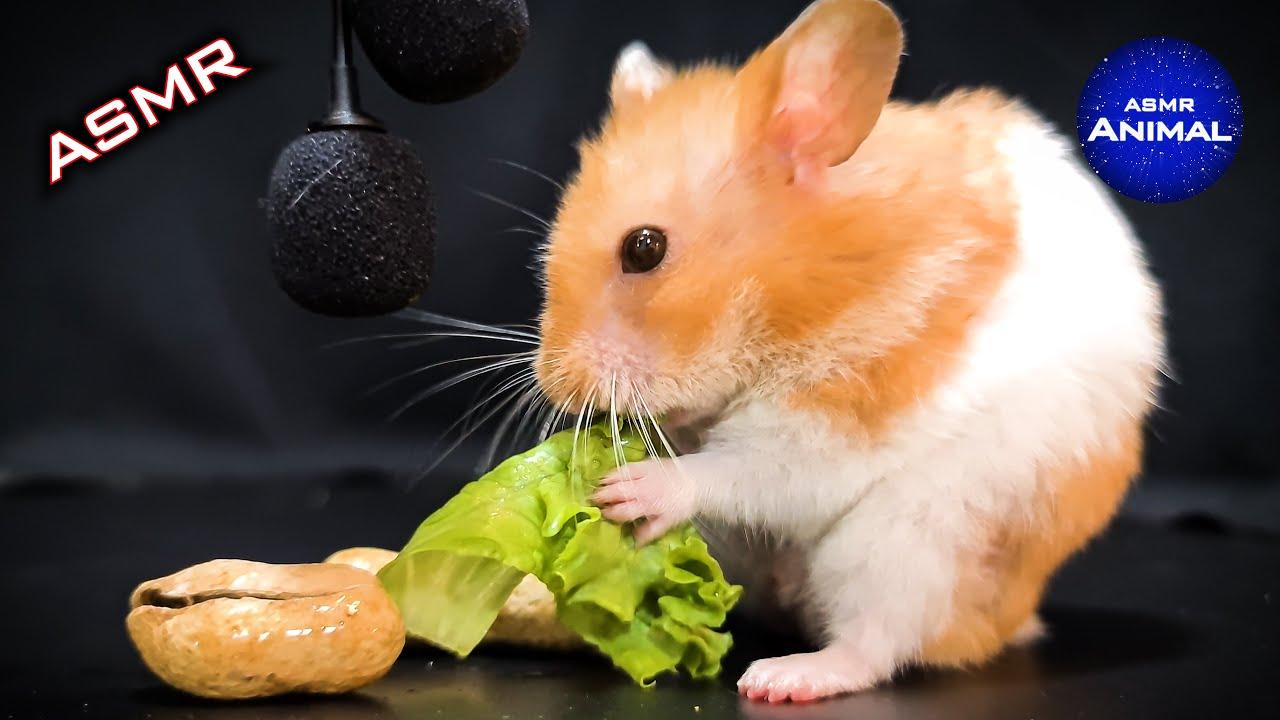 Hamster Eating Lettuce ASMR 🐹24 | Animal ASMR