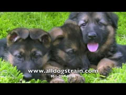 German Shepherd Puppies - 11 week old Trained Puppies!