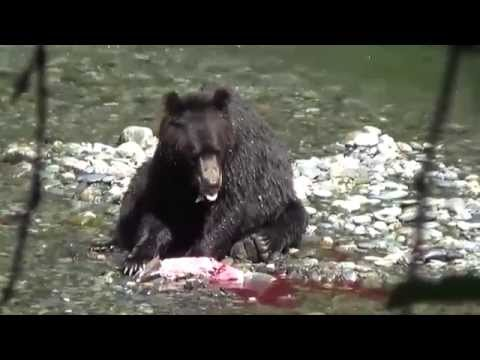 Salmon Fishing, Brown Bear Style