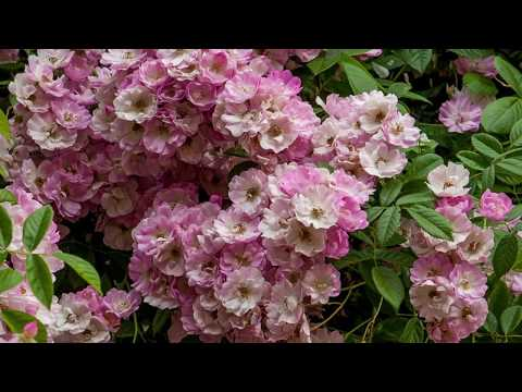 Роза ОДНОКРАТКА зацвела ПОВТОРНО!!! Apple Blossom