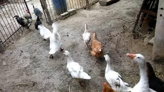 Kura kogut gęś kaczka perliczka całe stado