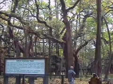 Banyan Tree Final Report