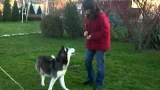 Training a husky to get between legs backwards