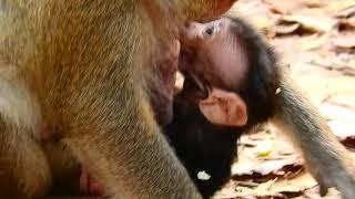 Lovely newborn monkey, Cute baby monkey breastfeeding