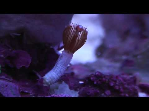 Marine Tube Worms amazing appearing and quick disappearing act. DON'T BLINK!