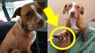 Dieser Pitbull wollte das Tierheim ohne seinen Freund, den er beschützte, nicht verlassen ...