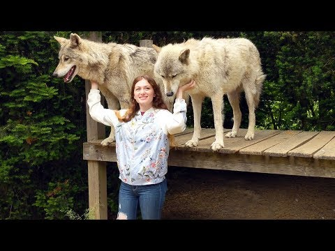 Playing With Wolves! - Howling Woods Farm